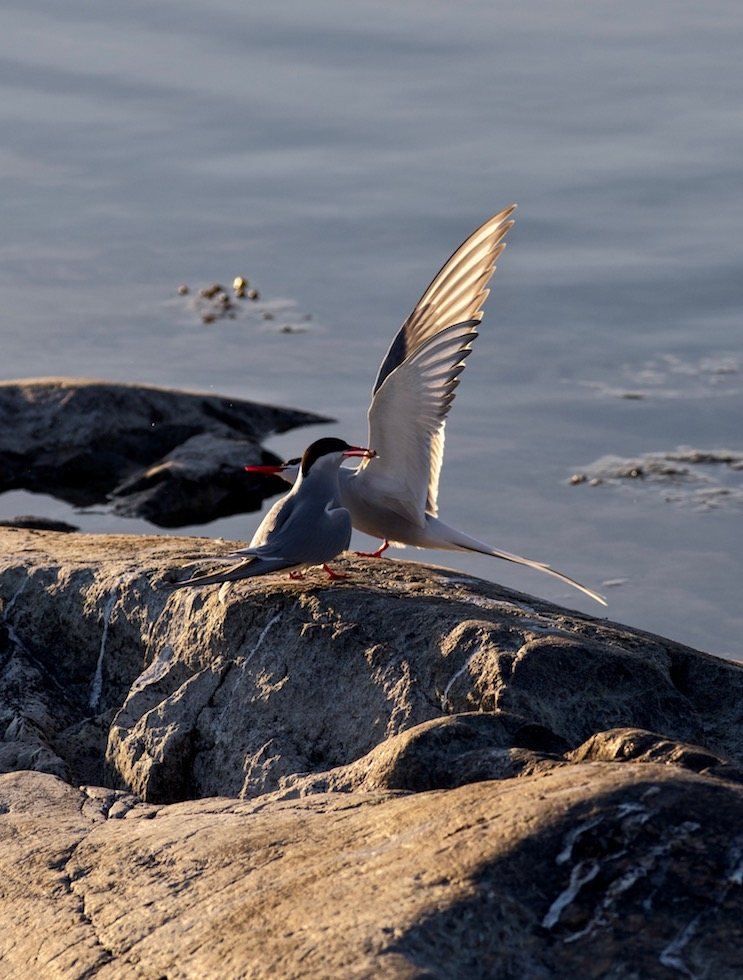 The Terns 2