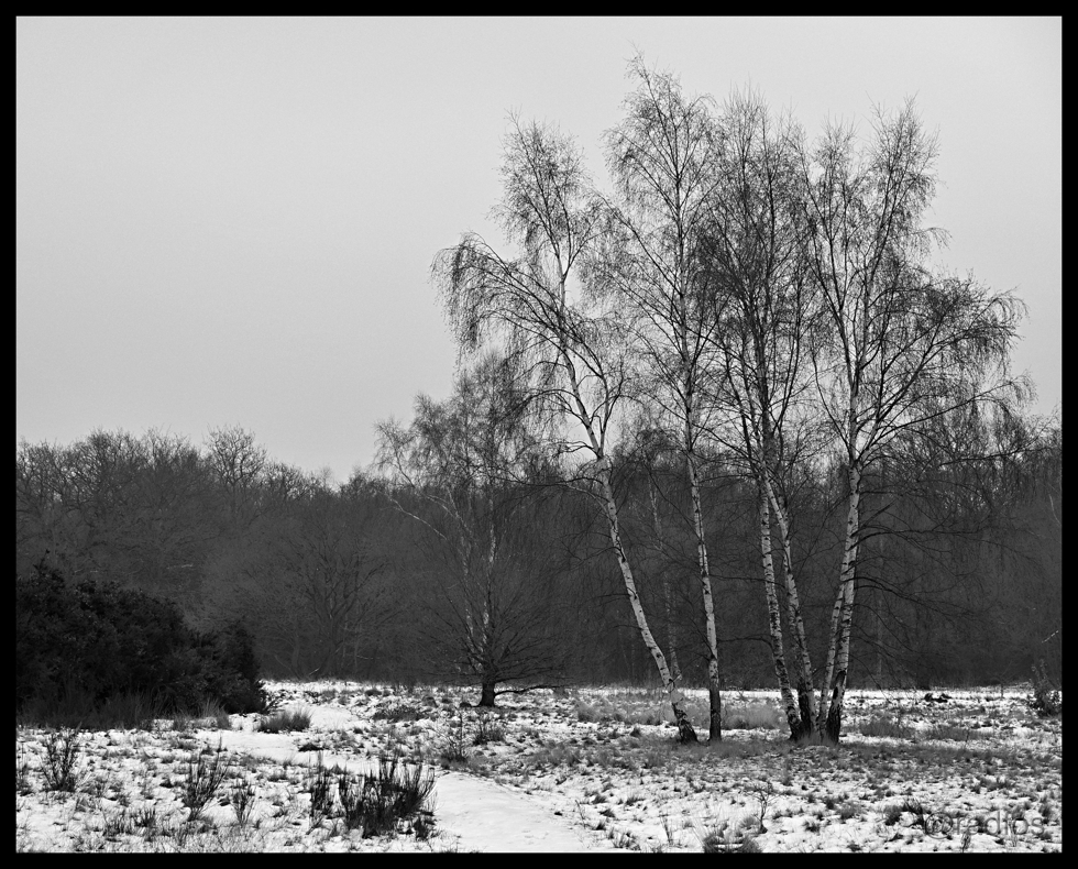 Birches - Epping Forest