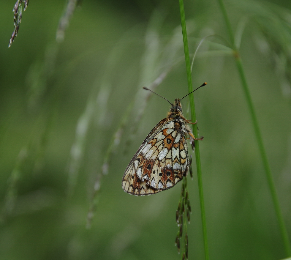 Boloria selene (side view)