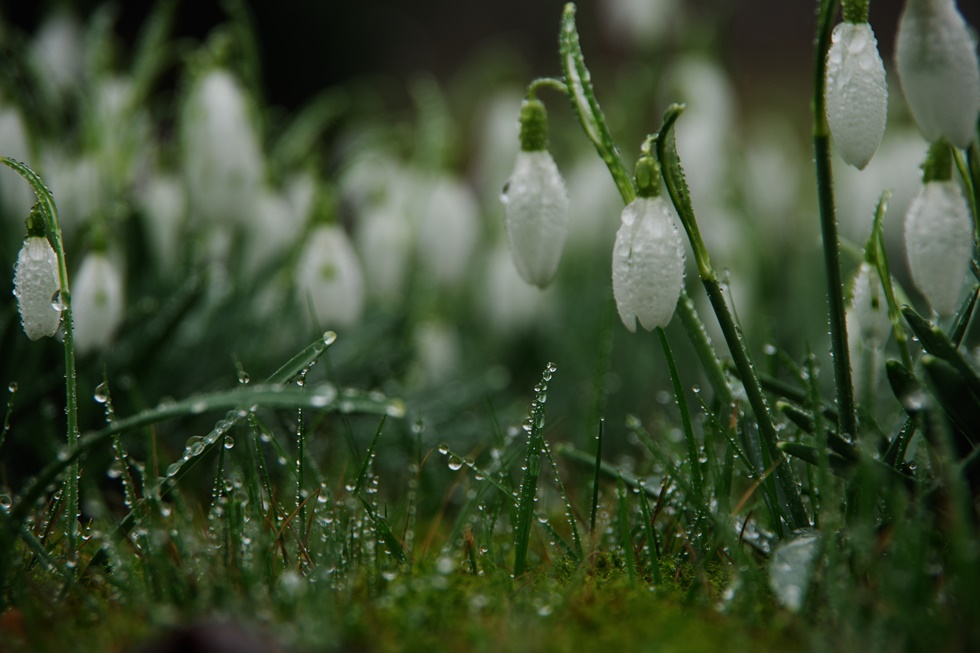 snowdrops drowning...