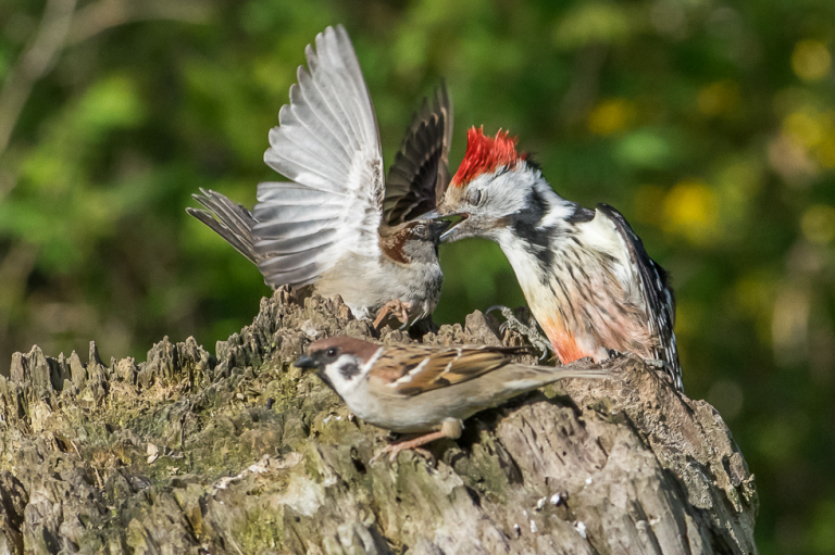 middle spotted Woodpecker attacks Sparrow ;-)