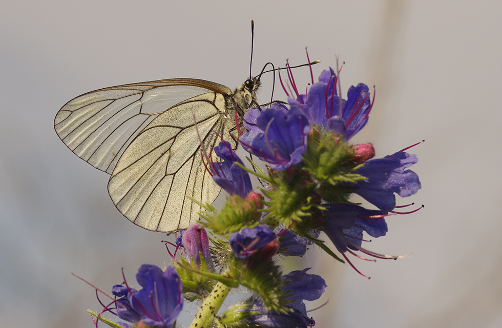baltic butterfly