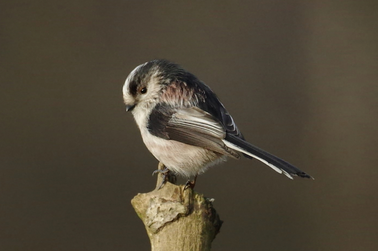 Long-tailed Tit at RSPB Sandy