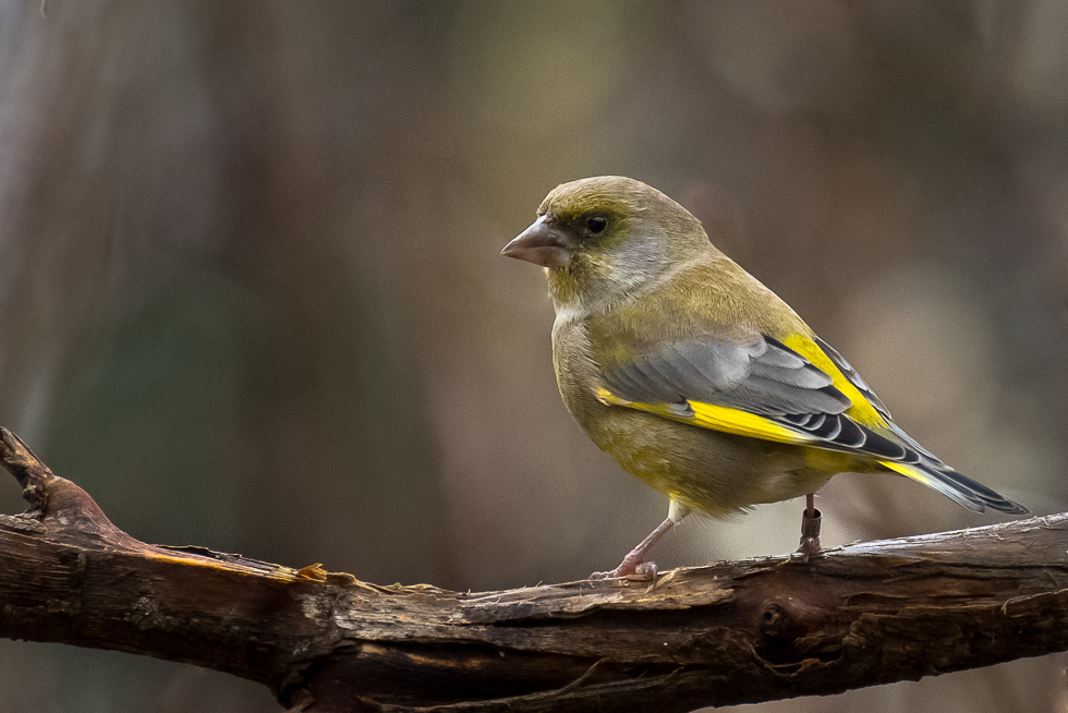 Greenfinch, Rohevint, Carduelis chloris