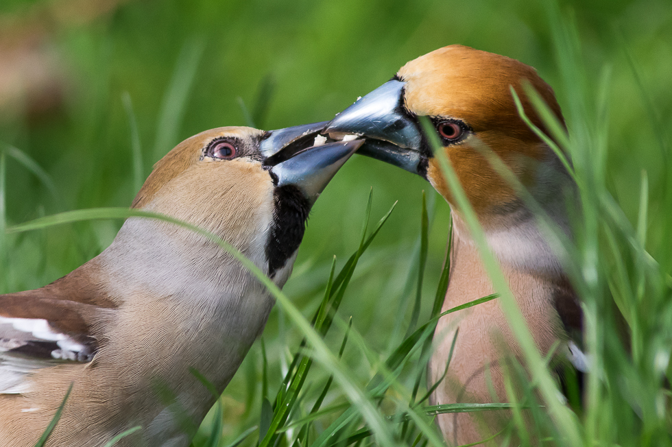 Hawfinches....