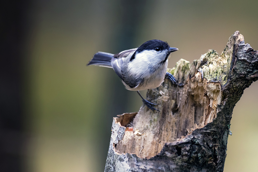 The willow tit