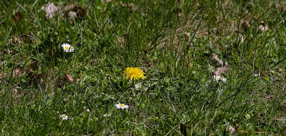 One dandelion and daisies