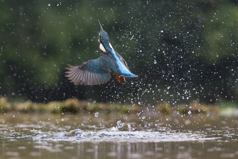 Kingfisher after a dive
