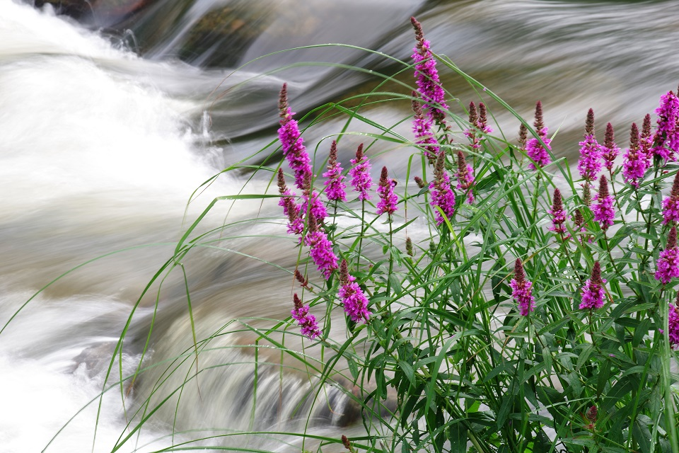 Purple loosestrife in a river